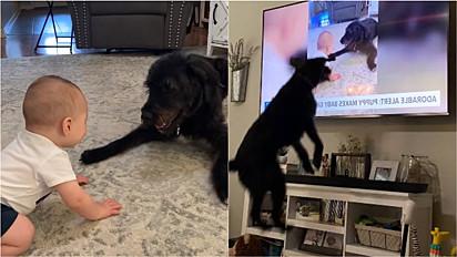Vídeo de cão se divertindo com bebê vira notícia e a reação do canino ao se ver na TV repercuti na internet.