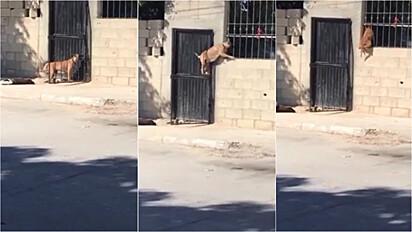 Cãozinho é flagrado pulando muro para entrar em casa.