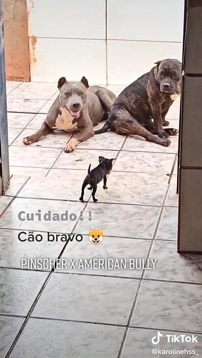 O filhote de pinscher confronta os dois cães american bully.