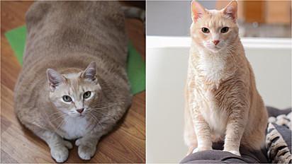Gato obeso é adotado e perde quase 8kg com ajuda da sua família.