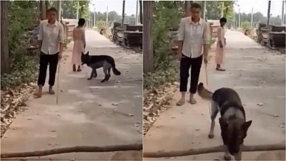 Pastor alemão ajuda homem cego retirando galho da sua frente.