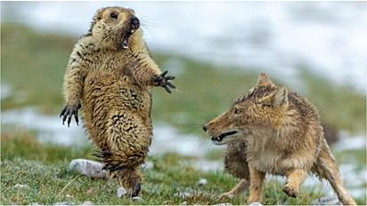 Fotógrafo registra susto de marmota ao ver que vai ser atacada por raposa e foto ganha prêmio.