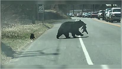 A cena da mamãe ursa com os seu filhotes foi filmada por Robin Covelli.