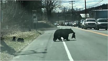 Mamãe ursa interrompe movimentada rodovia em Winsted, Connecticut, Estados Unidos, para poder atravessar seus filhotes com segurança.