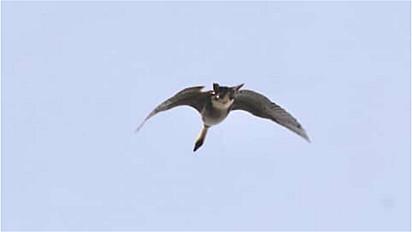 A imagem de um ganso havaiano foi registrada no Parque Nacional Haleakala em Maui, Havaí, mas a foto é facilmente confundida com um gato voador.