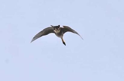 A imagem que deveria registrar um ganso havaiano, registrou um gato voador.