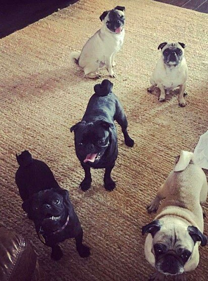 A família Legacki já tinha cinco cães pugs antes de adotar, todos de resgate.