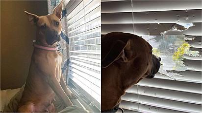 Um dos hobbies preferidos da cadela Tootsie é olhar o movimento pela janela.