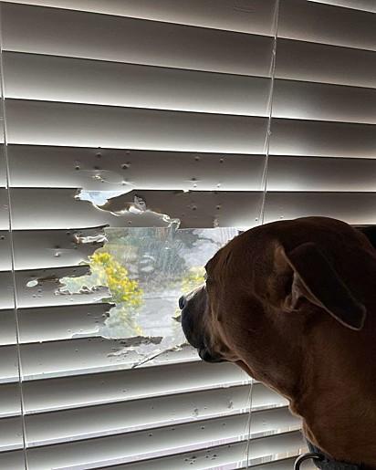 Tootsie deu uma 'estragadinha' na persiana para continuar tendo acesso a vista externa.
