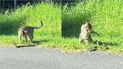 Gato é visto lutando com cobra na beira da estrada no sul de New South Wales, na Austrália.