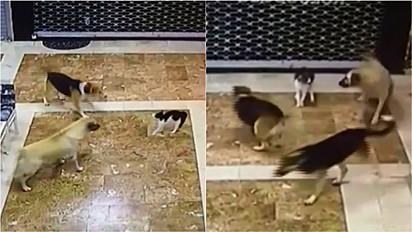 Gata defende seu filhote de três cachorros grandes em Adana, Turquia.