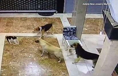 Os cães encurralam o gatinho.