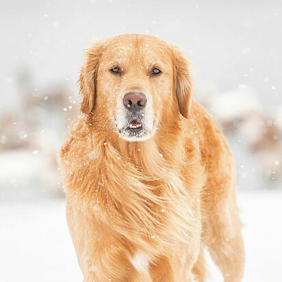 O golden retriever Riley.