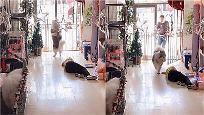 Husky siberiano pede por socorro para ajudar mulher que desmaiou em loja de pet shop na China.