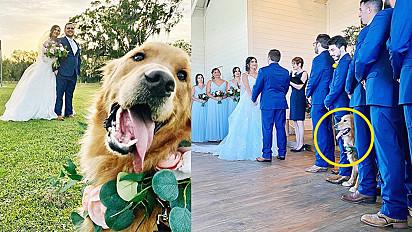 Golden retriever rouba a cena no casamento dos seus donos.