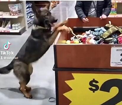 O pastor alemão esperando a permissão do dono para poder escolher um brinquedo.