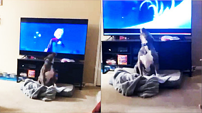 Pit bull encanta internautas cantando a música livre Estou do filme Frozen da Disney.