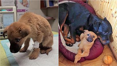 Filhote vira-lata caramelo ganha mãe adotiva da raça rottweiler.