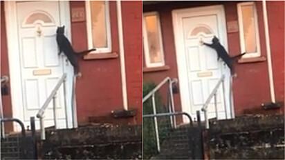 Gato foge de casa e retorna batendo na porta para alguém atendê-lo.