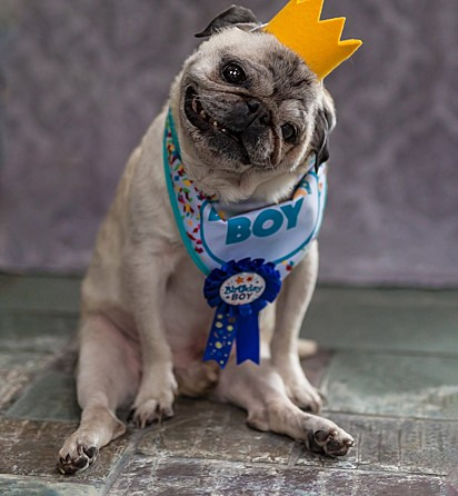 O pug Shorty, de 15 anos.
