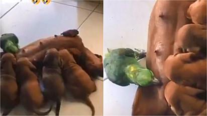 Dachshund é flagrada alimentando os seus filhotes e um papagaio.
