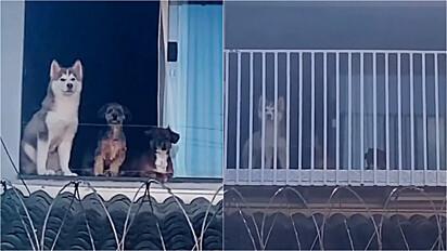 Homem constrói sacada para que os cães da família possam observar a vizinhança.