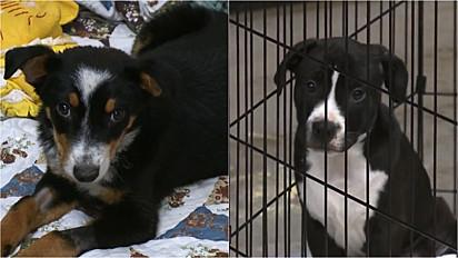 Abrigo de animais no Colorado, Estados Unidos, sofre com a devolução de cães.
