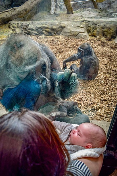 A gorila acariciava o vidro como se estivesse fazendo o mesmo com o bebê.