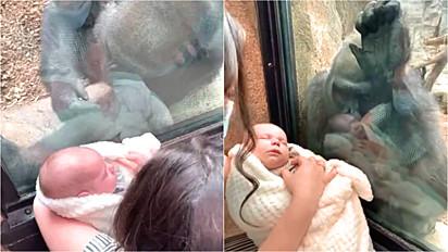 Gorila apresenta seu filhote para mamãe com seu bebê no zoológico Franklin Park Zoo em Boston, Estados Unidos.