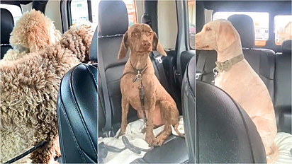 Mulher leva os seus labradoodles em pet shop e os cães voltam irreconhecíveis.