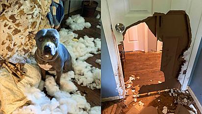 Mulher sai para trabalhar e pit bull destrói o sofá da sala.