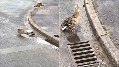 Ao atravessarem a rua, filhotes de pato caem acidentalmente em bueiro, mas são resgatados.