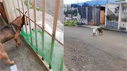Cachorra busca amiga em casa para passearem juntas em Cuenca, Equador.