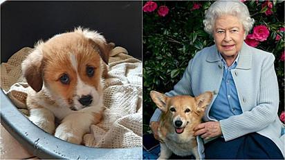 A rainha Elizabeth II, perdeu nesse final de semana, um filhote de dorgi de 5 meses.