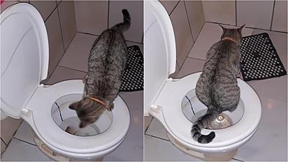 Gata sobe em vaso sanitário para fazer suas necessidades.