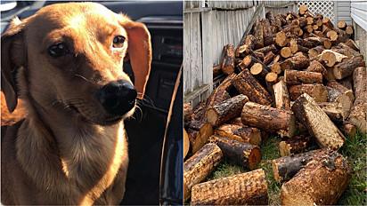 Cachorra apaixonada por gravetos fica invisível em uma pilha de lenha.