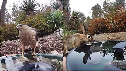 Mulher instala bebedouro em seu quintal e flagra animais de diferentes espécies usufruindo-o em Vista, Califórnia, Estados Unidos.