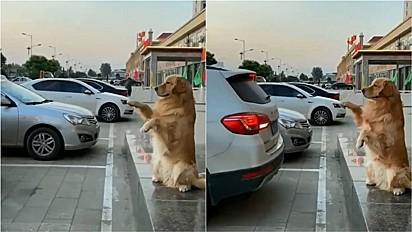 Golden retriever auxilia motorista a estacionar carro.