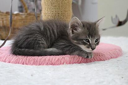 Um filhote resgatado abrigado no apartamento de Elisandrea Becker, dedicado a acolher os gatinhos.