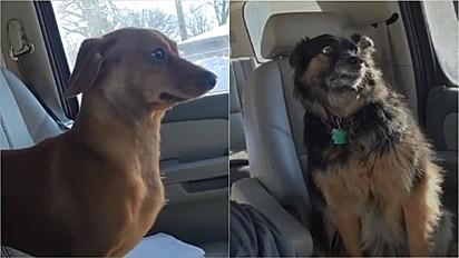 Cães fazem a maior cara de pavor ao saberem que estão indo ao veterinário.