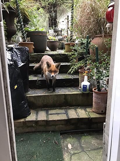 Minha vida inteira foi dividida entre Devon e Londres, indo e voltando. Vi duas raposas em Devon em 56 anos. Vejo cerca de seis ou sete todas as noites na cidade. Incluindo passear pela porta dos fundos. Muito normal.