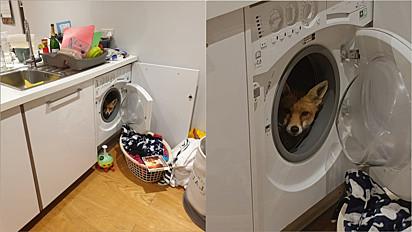 Casal é surpreendido com raposa dentro de máquina de lavar roupa.