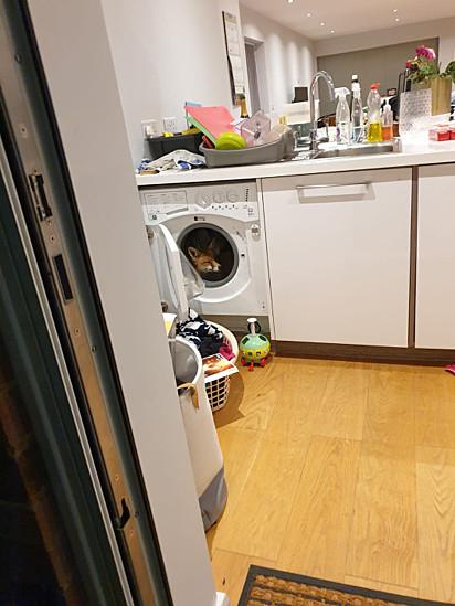A raposa se escondeu dentro da máquina de lavar roupa.