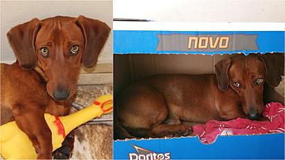 Dachshund rejeita casinha para se aconchegar em caixa de papelão.