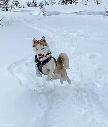 Squiffi, da raça husky siberiano.