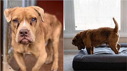 Cachorro cego que viveu por 8 anos acorrentado em quintal, se alegra em conhecer cama.