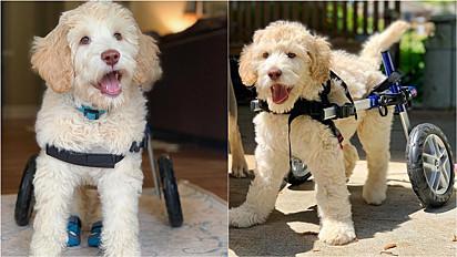 Cachorro vive feliz com sua cadeira de rodas.