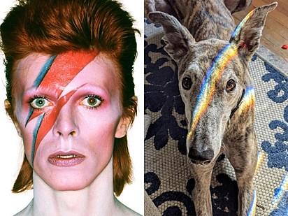 O truque da luz transforma o whippet no alter ego do falecido David Bowie, Aladdin Sane.