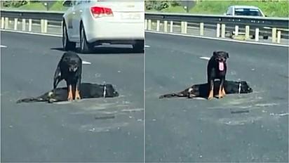 Rottweiler protege o corpo do seu companheiro canino atropelado na BR 101 no Espírito Santo.