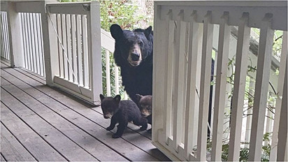 Ursa leva seus filhotes para apresentar a homem que fez amizade.
